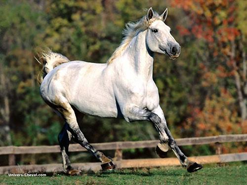 samouraï partie II ( le mongol ) Cheval-blanc